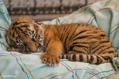 Bébé tigre de 5 jours endormi