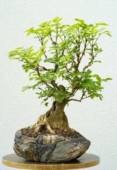 Fraxinus ornus (Manna Ash or South European Flowering Ash) Bonsai