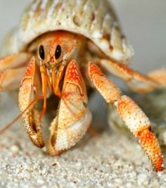 Many kids would like to have a hermit crab as a pet. It is important to understand how to care for this unique pet. This is a guide about caring for a hermit crab.