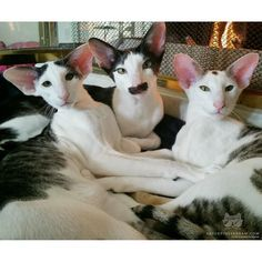 "From @Hobbikats: ""They are all boys Oriental Shorthairs. Pictured from (l-r) Teddy (8months) Stache (2 years) and Bindi (1 year)."" #catsofinstagram by cats_of_instagram"