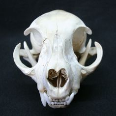 Cat Skull - The Witch of Forest Grove