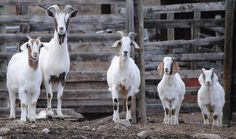 The Goat Renting Business On Your Homestead - http://www.homesteadnotes.com/the-goat-renting-business-on-your-homestead/