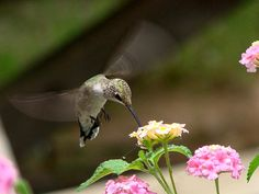 Nature's Dinner   Artist  Linda Cox   Medium  Photograph - Digital Photography   Description  This is a beautiful print of a tiny hummingbird captured at the moment of drinking nature's nectar.