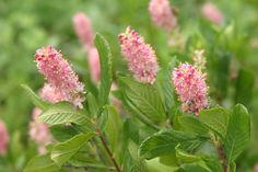 These intensely fragrant flowers are Ruby Spice Summersweet (Clethra alnifolia).  This Plant of Merit makes a great summer blooming shrub and thrives with extra moisture.