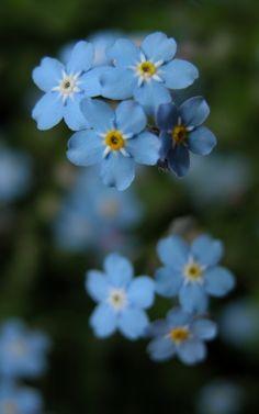 Flower blue macro photo