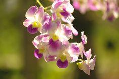 En güzel dekorasyon paylaşımları için Kadinika.com #kadinika #dekorasyon #decoration #woman #women Orchids purple Is considered the queen of flowers in Thailand