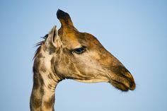 Giraffe Faces 3