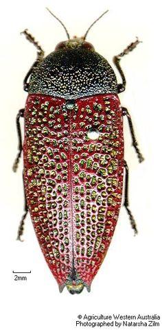 Stigmodera sanguinosa (jewel beetle)
