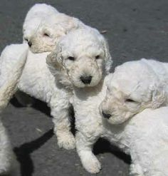1000+ images about Komondor on Pinterest | Puppies for ...