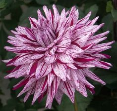 Dahlia 'Blackberry Ripple' - A cactus style variety that is a mix of lilac and purple. Blooms are 6 'Blackberry Ripple' - A cactus style variety that is a mix of lilac and purple. Blooms are 6 Dahlia Flower, My Flower, Flower Power, Herbaceous Perennials, Autumn Garden, Dream Garden, Flower Photos, Beautiful Gardens, Beautiful Flowers