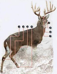 Understanding Seven Deer Glands   Field & Stream