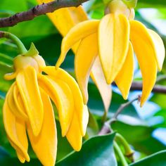 Ylang Ylang Boosts Heart Health, Moods