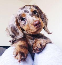 The cutest little miniature long haired dapple dachshund. The cutest little miniature long haired dapple dachshund. Source by vixxpins Super Cute Puppies, Cute Baby Dogs, Cute Little Puppies, Cute Dogs And Puppies, Cute Little Animals, Cute Funny Animals, Mini Dogs, Adorable Puppies, Dachshund Funny