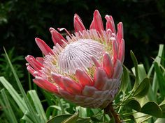 Protea from South Africa