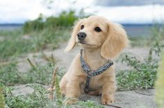 long haired miniature english cream dachshund | so precious can't wait to get one