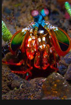 Mantis Shrimp (Odontodactylus scyllarus) coming up to defend its hole.