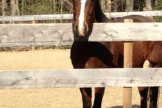Benny is a sweet, handsome, fun Connemara x TB  horse who is waiting for his next partner to bond with.    He is ready to move forward in his conditioning and transition work where we left off last fall.