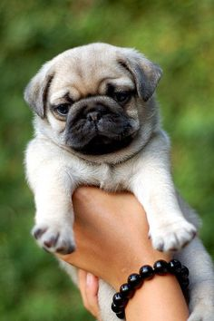 pugs are so cute!