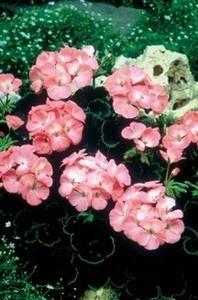 Pase Seeds - Geranium Zonal Black Velvet Series Rose Seeds, $5.29 (http://www.paseseeds.com/geranium-zonal-black-velvet-series-rose-seeds/)