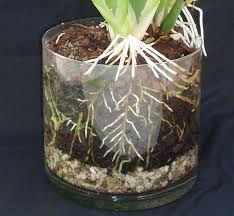 Картинки по запросу горшок с орхидеей в стеклянной вазе на керамзите