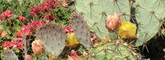 Opunciový olej na očné vrásky priamo z Maroka Plants, Plant, Planets