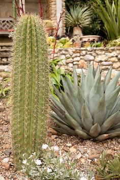 The San Pedro cactus (Echinopsis pachanoi, syn. Trichocereus pachanoi) LEFT, next to the Agave Nigra on RIGHT - Exotic & Tropical Plants ©Chris Ridley
