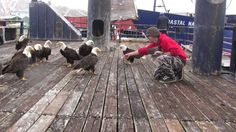 (Video in article)Jessie Peck has many bald eagle friends when he walks out on the deck of this fishing boat in Dutch Harbor, Alaska with a pan full of fresh fish. At first you