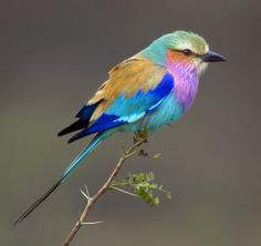 Lilacbreasted Roller in South Africa