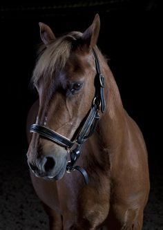 Paddy looking fine. These are some of the photographs I have taken of beautiful horses. I bring studio equipment to the stables for that special portrait or set up outdoor locations for that romantic style. Follow this board to watch my portfolio grow. Enquiries and commissions taken www.szwinto.com