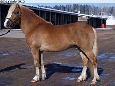 Finnhorse - stallion E.V. Amiraali