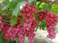 Red Globe Grapes - Buy Red Globe Table Grapes Product on Alibaba.com