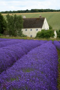 LAVANDER FIELDS | Flickr - Photo Sharing!