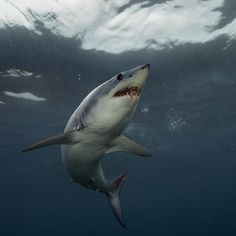 Photo by @BrianSkerry A Shortfin Mako Shark in New Zealand swims towards the surface in afternoon light. Makos are one of the fastest fish in the sea, capable of bursts up to 60mph and of all shark species they have one of the largest brains, relative to body size. The numbers of makos have declined worldwide due to over fishing and the demand for shark fins. They are currently listed as vulnerable.  Coverage from an upcoming @natgeo story about shortfin mako sharks. Follow @brianskerry for…