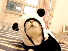 Panda-cat