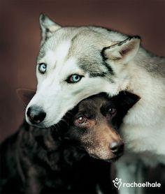 "Mocha and Cino (Australian Kelpie & Siberian Husky) - ""Opposites attract"" is Mocha and Cino's motto. (pic by Rachael Hale)"