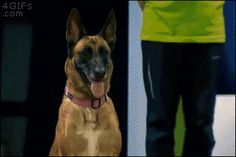 Dog goes rogue during obedience test, devours snacks along the way.