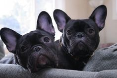 The major breeds of bulldogs are English bulldog, American bulldog, and French bulldog. The bulldog has a broad shoulder which matches with the head. French Bulldog Blue, French Bulldog Puppies, French Bulldogs, Frenchie Puppies, Cute Puppies, Cute Dogs, Dogs And Puppies, Doggies, Animals And Pets