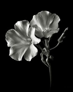 17 Ideas for photography black and white flowers inspiration Black And White Flowers, Black White Photos, Black And White Photography, Still Life Photography, Macro Photography, Fine Art Photography, Photography Flowers, Art Graphique, Black Paper