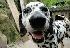 dalmatians smiling   Cute Dalmatian Puppy Smiling > Puppy Toob