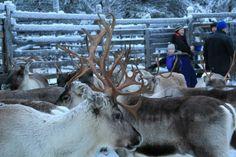 It's the reindeer round-up time! Pallas-Yllästunturi National Park, Lapland of Finland. - On poroerotusaika! Photo: Maarit / Luontoon.fi