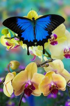 Mountain Blue Tropical Butterfly (Papilio ulysses) from Australia on Orchid Photography by: Darrell Gulin Butterfly Kisses, Butterfly Flowers, Blue Butterfly, Beautiful Bugs, Beautiful Butterflies, Beautiful Creatures, Animals Beautiful, Butterfly Pictures, Butterfly Wallpaper