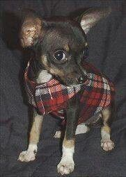 35 Dog Coat DIY& that are easy and fun and will keep your dog warm this Winter. Get the tutorials and DIY& and start making some fabulous dog coats. Chihuahua Clothes, Puppy Clothes, Chihuahua Love, Dog Coat Pattern, Vest Pattern, Free Pattern, Puppy Coats, Dog Clothes Patterns, Sewing Patterns