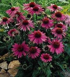 Echinacea purpurea (PurpleConeflower)  Not only is this herb very pretty for lanscaping and flower gardens, but it also greatly boosts your immune system! This link has instructions on how to grow, harvest, and make tea from it.