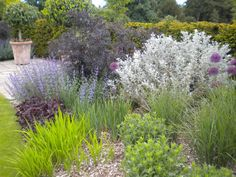 A mix of purples and silvers with Sambucus 'Black Lace',  Buddleja ( Where are we with  the spelling of Buddleia? )'Morning Mist', Heuchera 'Plum Pudding' , Nepeta 'Six Hills' and  Allium   'Purple Sensation'