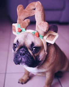 French Bulldog waiting for Christmas!
