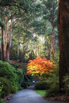 Walking in Paradise - National Rhododendron Garden, Victoria, Australia