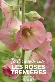 Rose trémière : semer, planter, entretenir Discover the Hollyhocks and our advice on how to sow them, plant them and maintain them in the garden! Permaculture, Organic Gardening, Gardening Tips, Home Flowers, Malva, Rose Bush, Garden Care, Plantar, Garden Stones