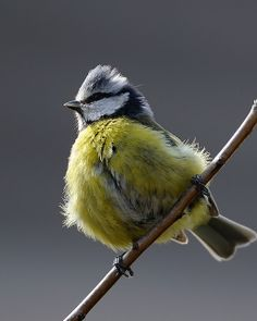 Blue Tit in the wind - Parus caeruleus