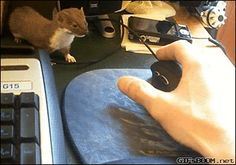 Tiny weasel likes to play!