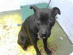 Pictures of NIMBUS a Labrador Retriever Mix for adoption in Atlanta, GA who needs a loving home.